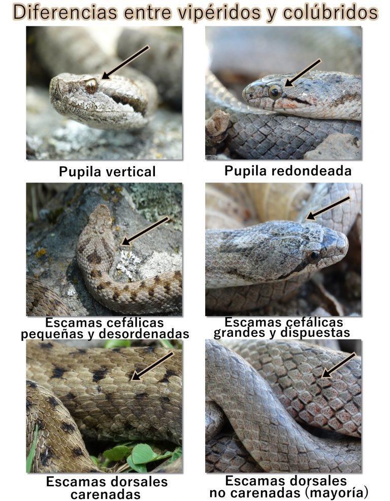 Diferencias entre vipéridos y colúbridos. Fotografías de una víbora áspid (izquierda) y una culebra lisa meridional (derecha).