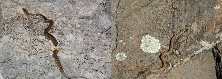 Visión general: comparativa culebra de agua (izquierda) Vs. víbora áspid (derecha)